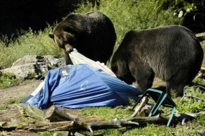Bears will absolutely ruin your campsite!