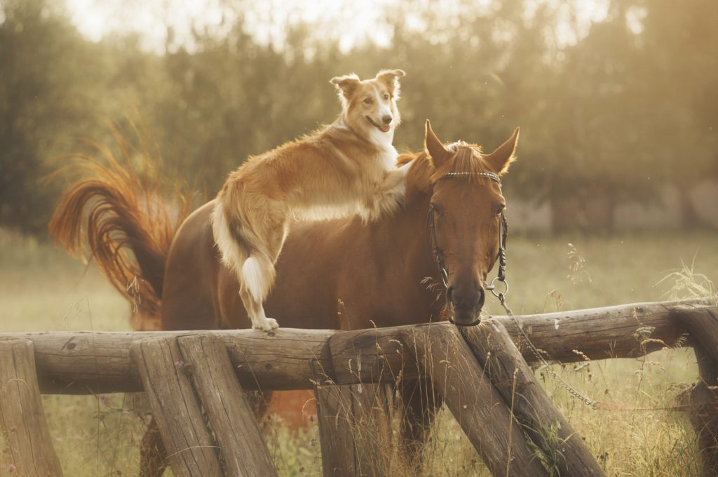 Red border collie dog and horse are friends at sunset in summer