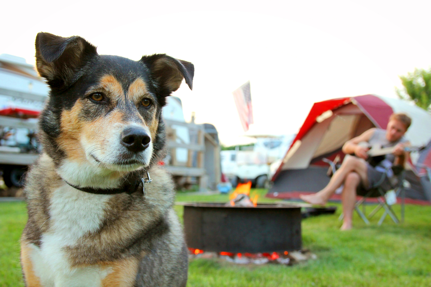 A German Shepherd dog is camping at a campground with his owner, a man who is playing guitar in the background.