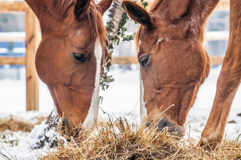 Two brown horses eating dry grass in the snow.