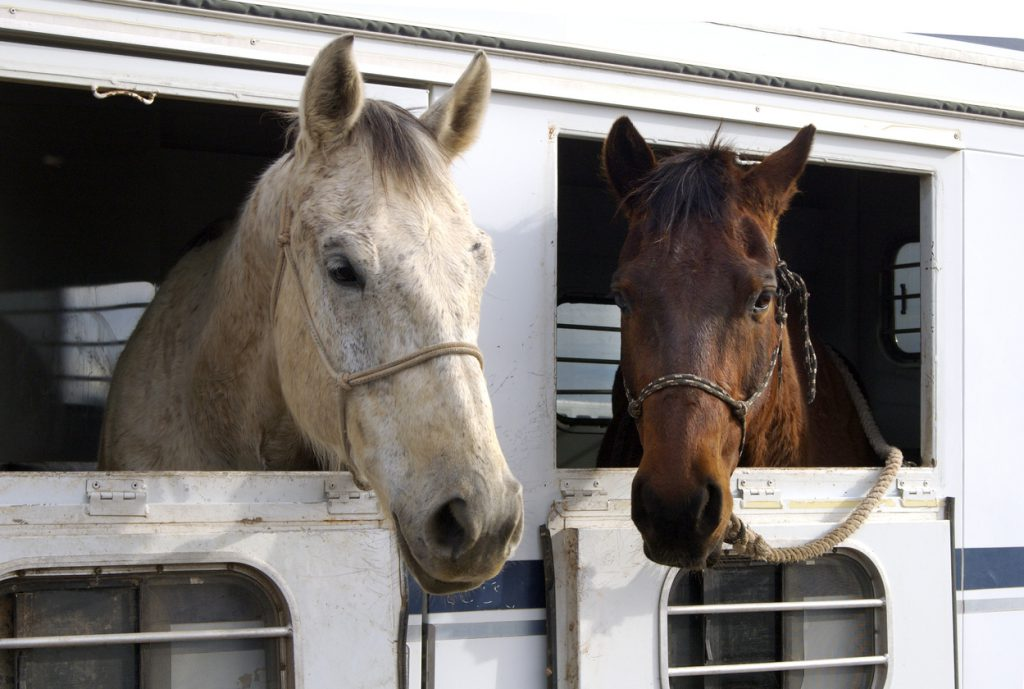 Horses waiting to depart after a rodeo.