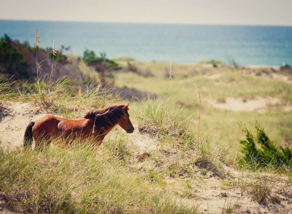 Wild Horse at Shackleford Banks, NC